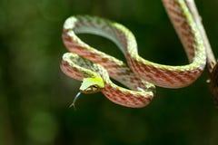 Zielony Azjatycki winogradu węża Ahaetulla prasina Obraz Stock