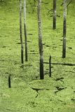 zielony bagno Zdjęcia Stock