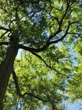Zielony baldachim Przeciw niebieskiemu niebu zdjęcie royalty free