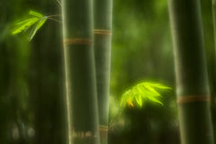Zielony bambus Fotografia Royalty Free