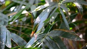 Zielony bambus zbiory