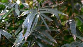 Zielony bambus zdjęcie wideo
