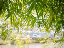 Zielony bambus jest tłem obraz stock