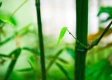 zielony bambusa drzewo Zdjęcie Royalty Free