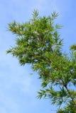 zielony bambusa drzewo Obraz Royalty Free