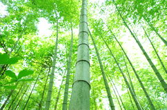zielony bambusa drzewo Zdjęcie Stock