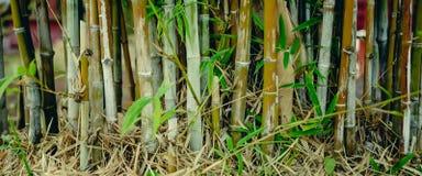 Zielony bambusowy drzewo w ogródzie Obraz Stock