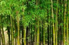Zielony bambusowy las Zdjęcie Stock
