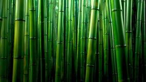 Zielony bambusowy lasowy tekstury tło, bambusowa tekstury panorama zdjęcie stock