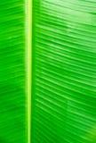 Zielony bananów liści use dla tła Fotografia Stock