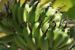 Zielony banan (barlen) Fotografia Stock