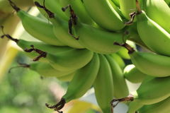 Zielony banan (barlen) Zdjęcia Royalty Free