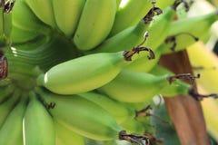 Zielony banan (barlen) Obrazy Stock