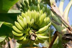 Zielony banan w Sri Lanka Obrazy Stock