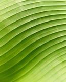 zielony banana liść Zdjęcie Royalty Free