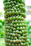 Zielony banana plik Obrazy Stock