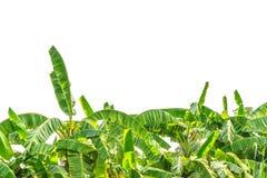 Zielony bananowy drzewo Zdjęcia Royalty Free