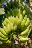 Zielony bananowy drzewo Zdjęcie Stock