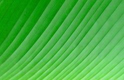 Zielony bananowy liść. Obrazy Stock