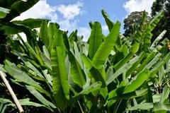 Zielony Bananowy liść natury parka abstrakta tło Obrazy Royalty Free