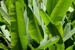 Zielony Bananowy liść natury parka abstrakta tło Zdjęcia Stock