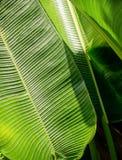 Zielony bananowy liść tła abstrakt Obraz Stock