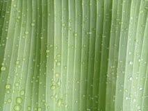 Zielony bananowy liść z kropelkami w pada dniu zdjęcie royalty free