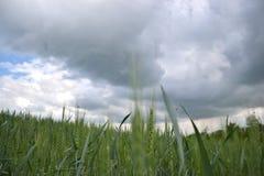 Zielony banatki pole na ciemnym chmurnym niebie w wiośnie (Triticum) Zamyka up niedojrzali pszeniczni ucho Sistani Zdjęcia Royalty Free