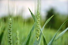 Zielony banatki pole na niebieskim niebie w wiośnie (Triticum) Zamyka up niedojrzali pszeniczni ucho Zdjęcia Royalty Free