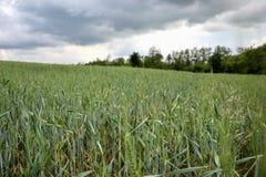 Zielony banatki pole na niebieskim niebie w wiośnie (Triticum) Zamyka up niedojrzali pszeniczni ucho Sistani Zdjęcia Royalty Free