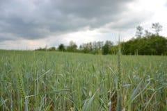 Zielony banatki pole na niebieskim niebie w wiośnie (Triticum) Zamyka up niedojrzali pszeniczni ucho Sistani Zdjęcie Stock