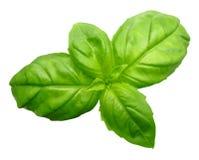 Zielony basil odizolowywający Zdjęcia Stock