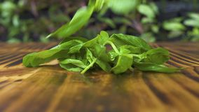 Zielony basil opuszcza spadać na drewnianym stole zamkniętym w górę Świezi basilów ziele na drewnianym tle Przyprawowy składnik d zbiory wideo