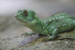 Zielony bazyliszek Fotografia Stock
