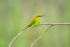 Zielony Bee-eater Obrazy Royalty Free