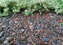 Zielony Biały euymonious roślina żywopłot z koloru brzeg Jeziornymi kamieniami Fotografia Royalty Free