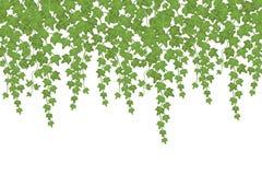 Zielony bluszcz ściany pięcia rośliny obwieszenie od above Ogrodowy dekoracja wektoru tło ilustracji