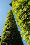 zielony bluszcz Zdjęcie Royalty Free