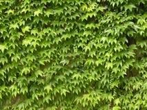 zielony bluszcz Zdjęcia Royalty Free