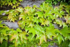 zielony bluszcz Obraz Stock