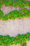 Zielony bluszcz na lekkiej kamiennej ścianie Zdjęcia Stock