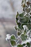 Zielony bluszcz podczas zimy Fotografia Royalty Free