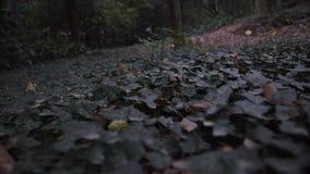 Zielony bluszcza dywan w lesie zbiory wideo