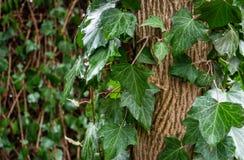 Zielony bluszcza Hedera helix Goldchild dywan Oryginalna tekstura naturalny greenery Tło eleganccy liście zdjęcia royalty free