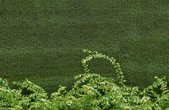 Zielony bluszcza krzak Obraz Stock