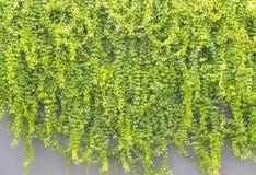 Zielony bluszcza liść na szarym betonowym budynku Zdjęcia Royalty Free