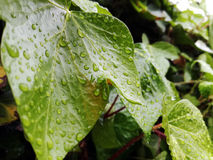 Zielony bluszcza liść z raindrops w ranku Fotografia Royalty Free