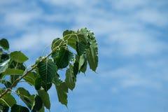 Zielony bo leaf zdjęcia royalty free