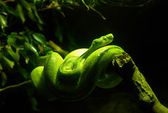 zielony boa wąż Fotografia Stock