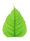 Zielony bodhi liść odizolowywający na białym tle Obrazy Stock